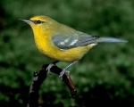 Blue-winged Warbler. Photo Credit: birds.audubon.org