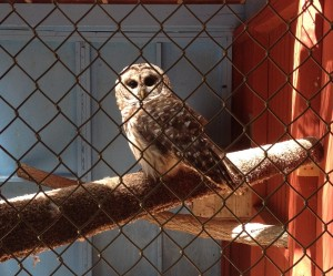 Barred Owl at The Raptor Trust