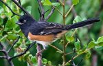Eastern Towhee. Photo Credit: AllAboutBirds.org