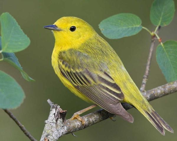 yellow warbler bird house plans