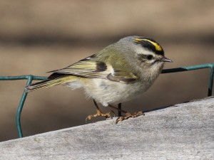 Golden-crowned Kinglet Photo Credit: Wikipedia