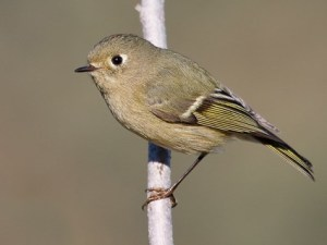 ruby_crowned_kinglet_1