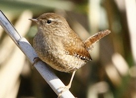 Winter Wren Photo Credit: AllAboutBirds.org