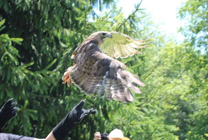 Red-Tailed Hawk Release. Photo from The Raptor Trust's Facebook page.