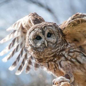Vilma, The Raptor Trust's Barred Owl plays a key role in the organization's educational programs. Photo by Joy Yagid.