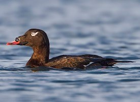 White-winged Scoter. Photo: AllAboutBirds.org © Ken Phenicie Jr
