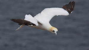 Northern Gannet by Gavin Shand on Vimeo
