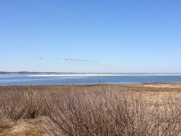 Gulls on the move before an immature Bald Eagle flew over the Bay.
