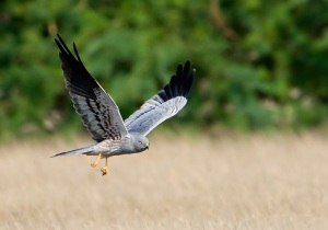 """Gray Ghost"" Male Northern Harrier"