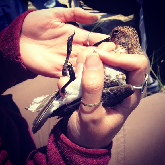 20-something Environmentalist holding a sanderling.
