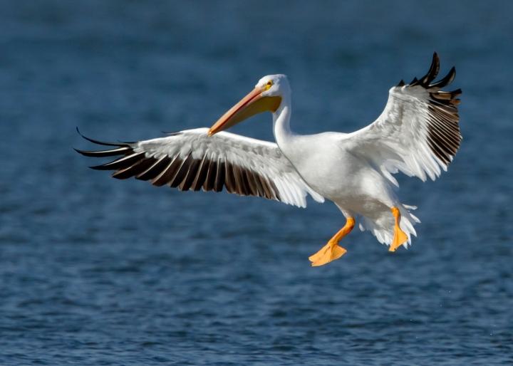 American_White_Pelican