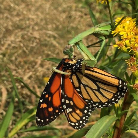 Praying Mantis munching on a Monarch butterfly