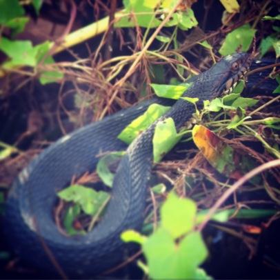 Florida banded water snake