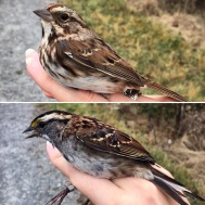 Top: Song Sparrow, Bottom: White-throated Sparrow