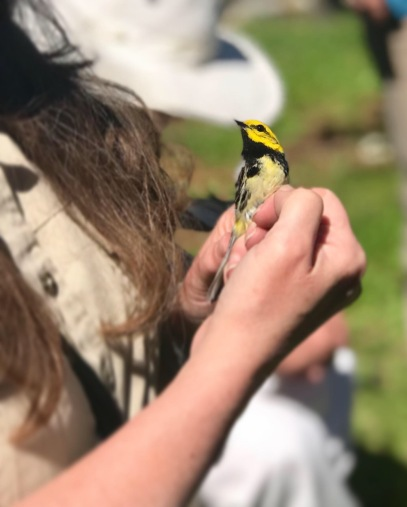 Dr. Sara Morris holding a Black-throated Green Warbler. Handled for scientific purposes and with proper permits.