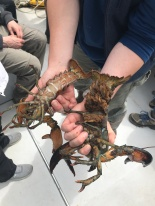 """Male lobster (left) and an """"egger"""" female lobster with eggs (right)"""