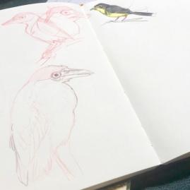 Black-crowned Night Heron and Canada Warbler