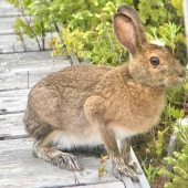 Snowshoe Hare!