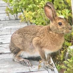 Snowshoe Hare!
